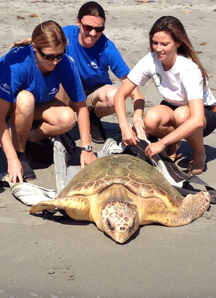 SeaWorld Orlando's Animal Rescue Team assists a sub-adult loggerhead turtle to Hobe Sound waters after receiving rehabilitative care at SeaWorld Orlando for the past several months.
